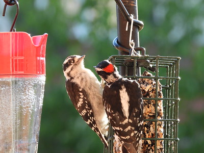 Downy Woodpecker - adult male feeding juvenile male