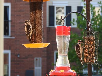 Downy Woodpecker - adult male feeding juvenile male