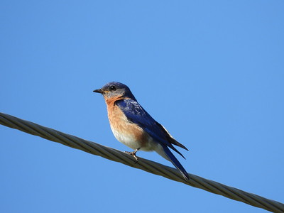 Eastern Bluebird - male