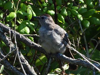 Gray Catbird - juvenile