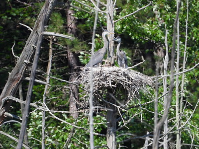 Great Blue Heron - two nestlings on the nest