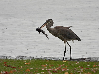 Great Blue Heron - with catfish