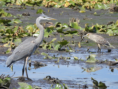 Great Blue Heron (L) & Black-crowned Night-Heron (R)