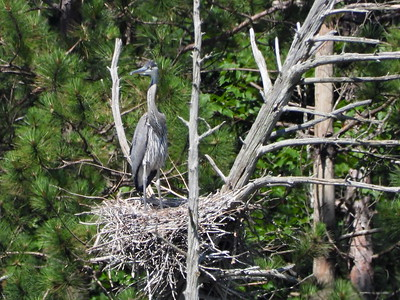 Great Blue Heron - single nestling on the nest