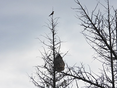 Great Horned Owl (+ American Robin)