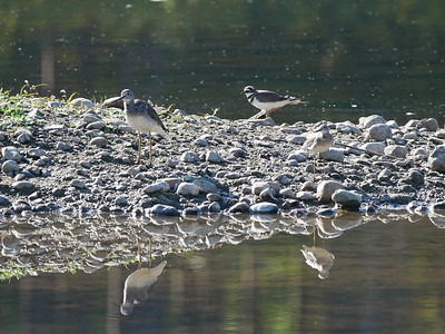 Greater Yellowlegs, Killdeer, Lesser Yellowlegs