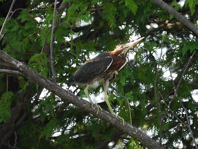 Green Heron - fledgling