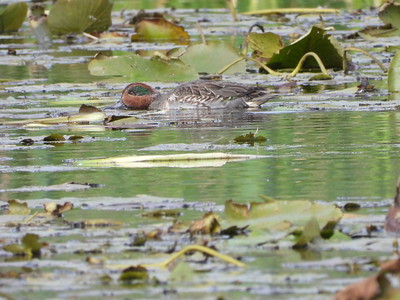 Green-winged Teal - male
