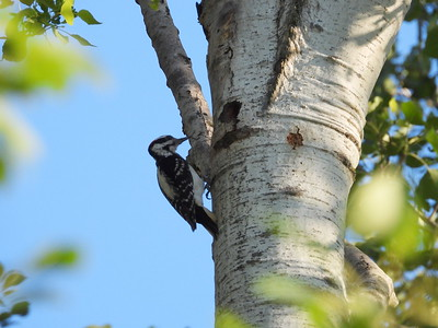 Hairy Woodpecker - adult male feeding juveniles in tree cavity nest