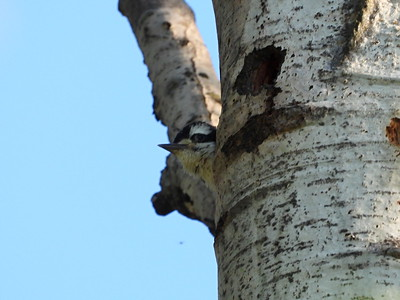 Hairy Woodpecker - juvenile poking head out of tree cavity nest