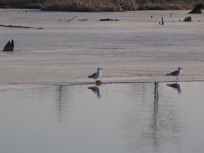 Herring Gull - feeding  on fish head