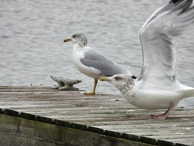 Ring-billed Gull (left) & Herring Gull (right)