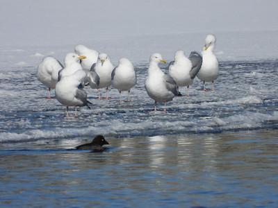 Herring Gull (& female Common Goldeneye)