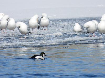 Herring Gull (& male Common Goldeneye)
