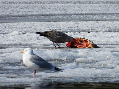 Herring Gull - feeding on Common Carp likely dragged onto the ice by an Otter