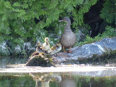 Mallard - female with juveniles