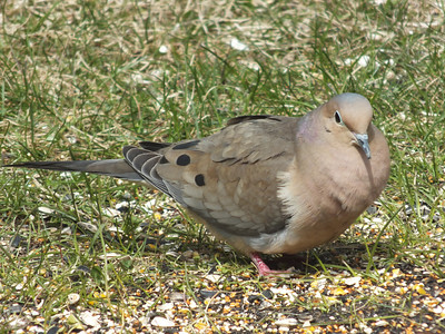 Mourning Dove - male