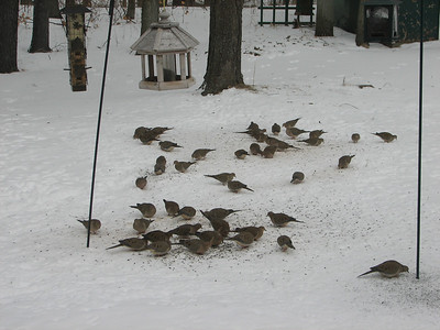 Mourning Dove - our biggest flock of doves at the feeder, 47 birds
