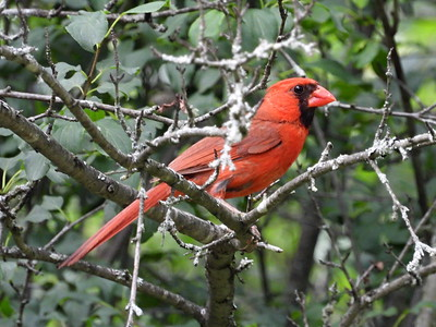 Northern Cardinal - male