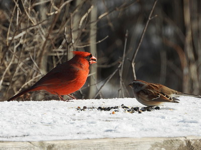 Northern Cardinal (& American Tree Sparrow)