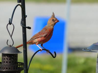 Northern Cardinal - juvenile male