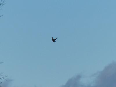 Northern Harrier - hovering over potential prey