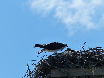 Osprey - adult feeding three nestlings
