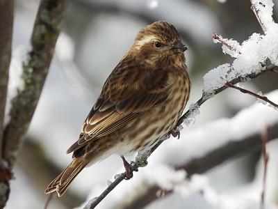 Pine Siskin - juvenile