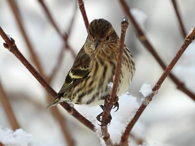 Pine Siskin - adult
