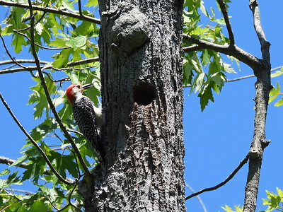 Red-bellied Woodpecker - adult male feeding nestling