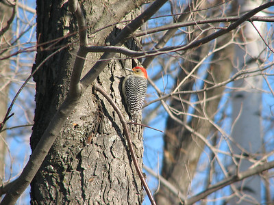 Red-bellied Woodpecker - male