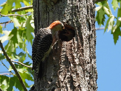 Red-bellied Woodpecker - adult female feeding nestling