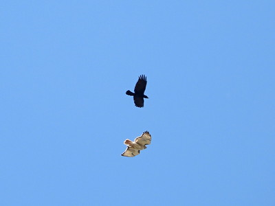 Red-tailed Hawk - being chased by American Crow