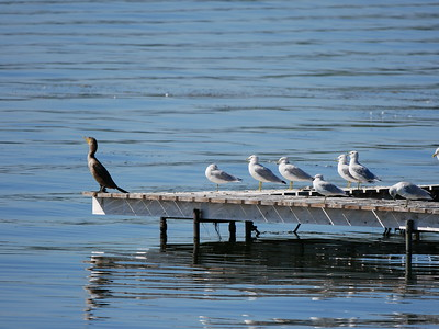 Double-crested Cormorant, Ring-billed Gull