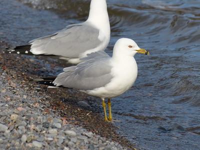 Ring-billed Gull - breeding adult