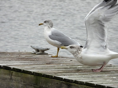 Ring-billed Gull (left) & Herring Gull (right)