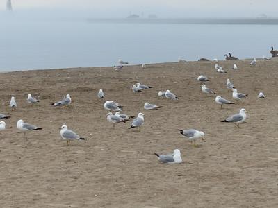 Mostly Ring-billed Gulls