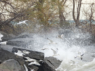 Ring-billed Gull - flock of ~30 hovering, flying and fishing along shoreline during windy weather with large waves