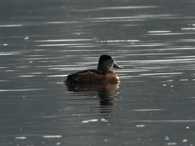 Ring-necked Duck - female