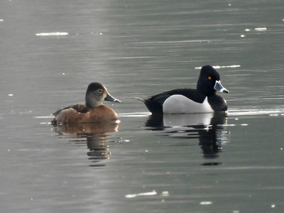 Ring-necked Duck - female & male