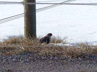 Sharp-shinned Hawk - male, feeding on European Starling