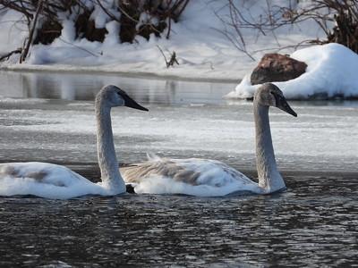 Trumpeter Swan - juveniles