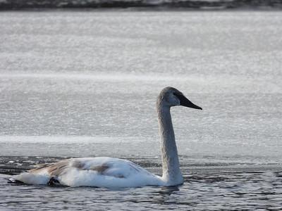 Trumpeter Swan - juvenile