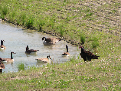 Turkey Vulture and Canada Goose