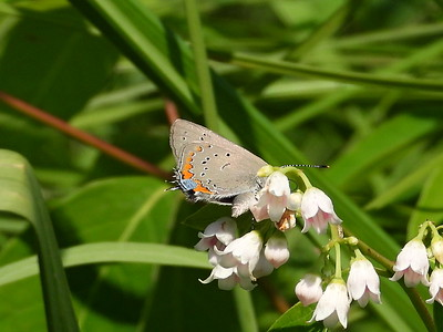 Acadian Hairstreak (Satyrium acadica)