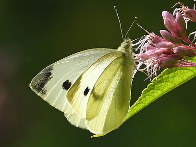 Cabbage White (Pieris rapae)