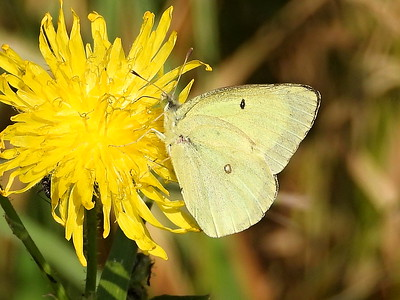 Clouded Sulphur (Colias philodice) - white form female