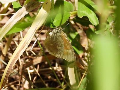 Common Ringlet (Coenonympha tullia)