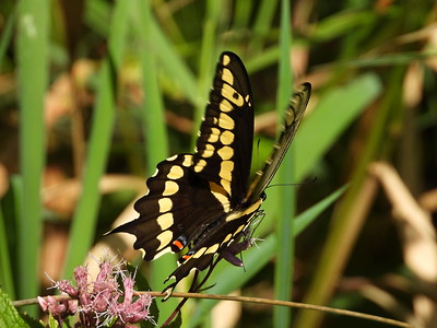 Eastern Giant Swallowtail (Papilio cresphontes) - also known as Giant Swallowtail