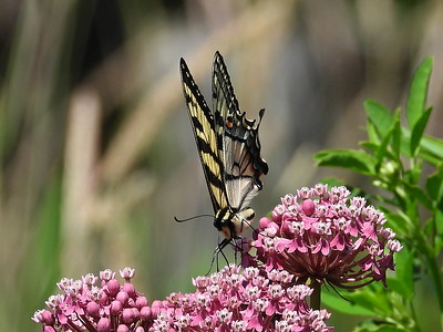 Eastern Tiger Swallowtail (Papilio glaucus)